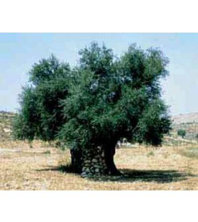 Plant The Tree Of Life in Israel